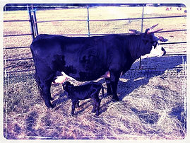 dexter cow and calf
