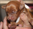 Poppy X Tre Puppies - 3 Days Old.