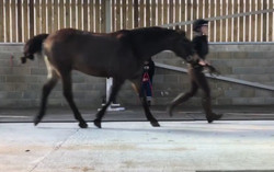 Lateral view of a trot up