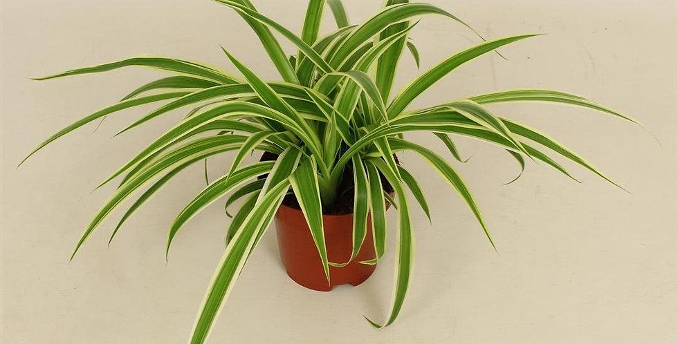 Chlorophytum  Topf 12