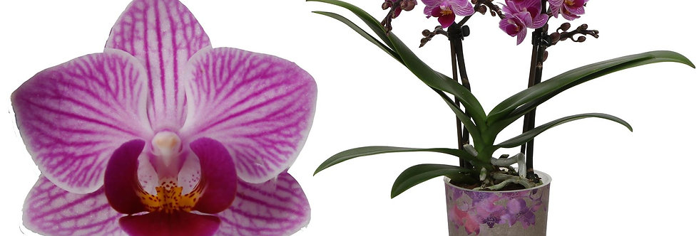 Phalaenopsis rosa weiß gestreiftTopf 9