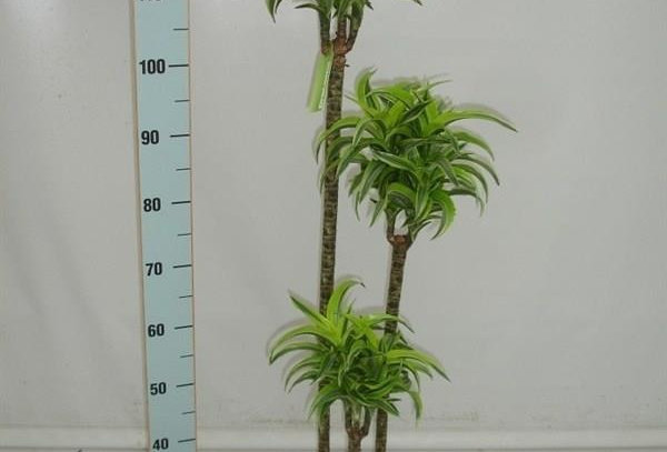 Dracaena Yellow Coast Topf 24