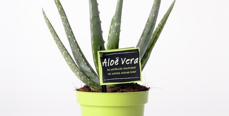 Aloe Vera Topf 12