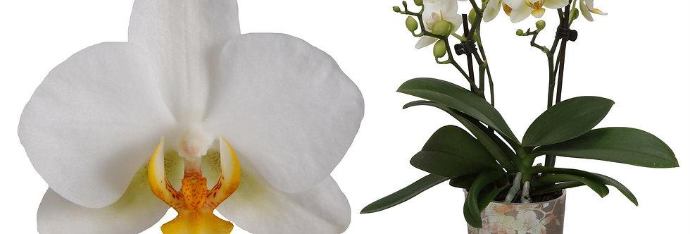 Phalaenopsis weiß Topf 9