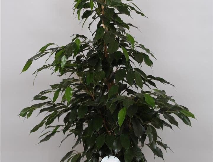 Ficus danielle Topf 21