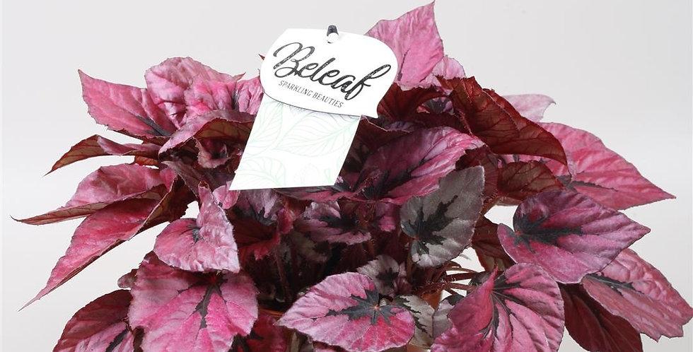 Begonia Rex Topf 17