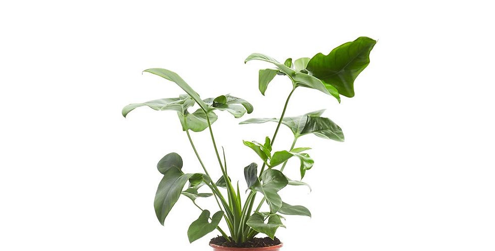 """Philodendron """"Green Wonder"""" Topf 24"""