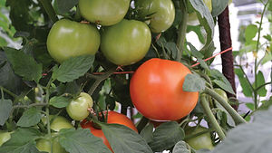 Hydroponic-tomatoes-in-a-high-tunnel.jpg