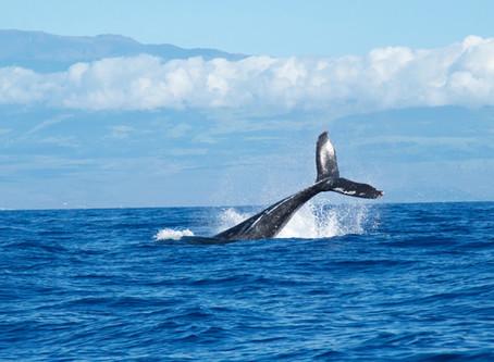 Hunting Whales vs. Netting Fish