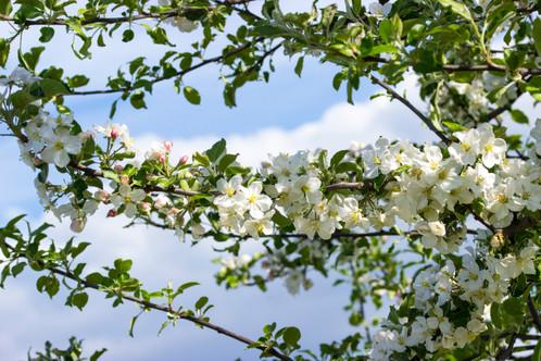 Apfelblüte in der Oberlausizt