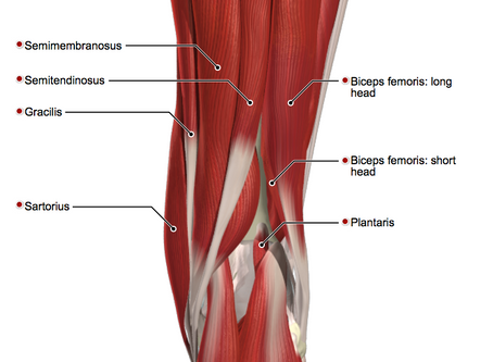 Hamstrings - How Do They Influence Your Riding?