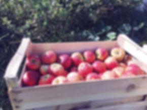 Pommes bio elstar.JPG