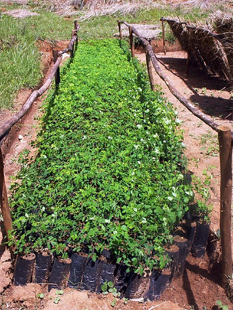 plantation de moringa bio