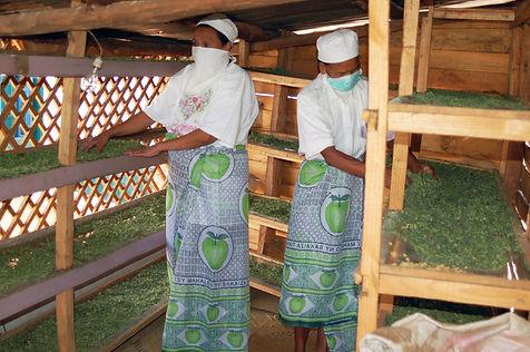 cultivatrices de Moringa malgaches