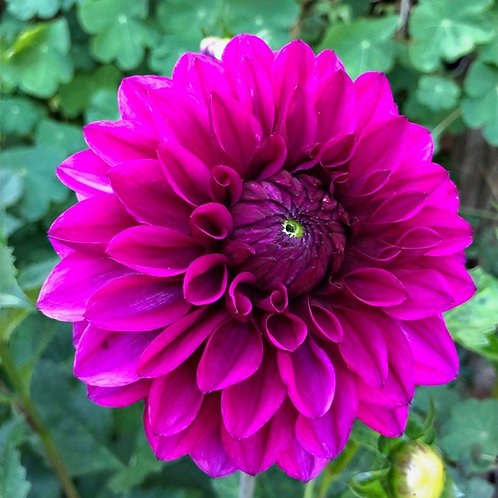 Dahlia - Miss Purple