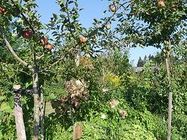 Fruitiers dans jardin foret comestible