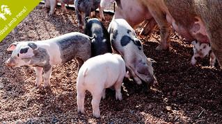 Visita l'ecogranja Salgot al cor del Montseny. Descobreix com viuen i es crien els porcs ecològics