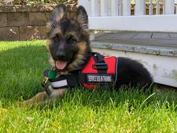Service Puppy in Training
