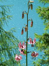Pflanzenwelt - Türkenbundlilie