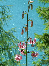 Flore - lys martagon