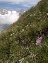 Flore - edelweiss et aster
