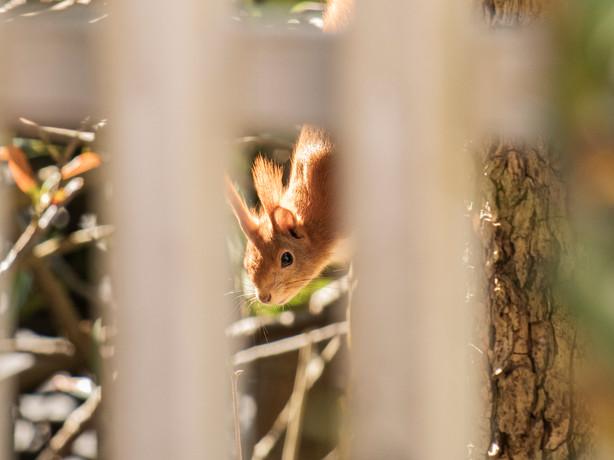 Eichhörnchen 011