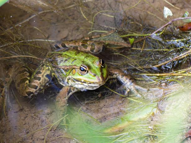 Frog 035