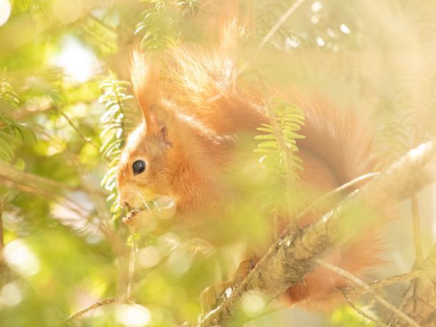 Eichhörnchen 010