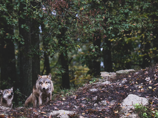 Wolf 034