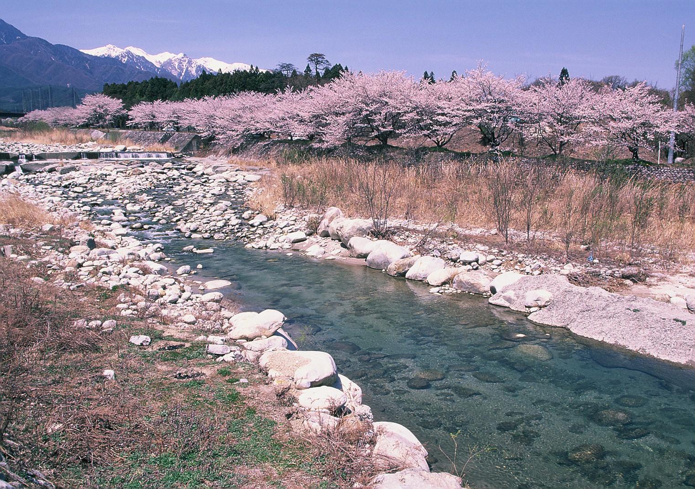 片桐松川の桜