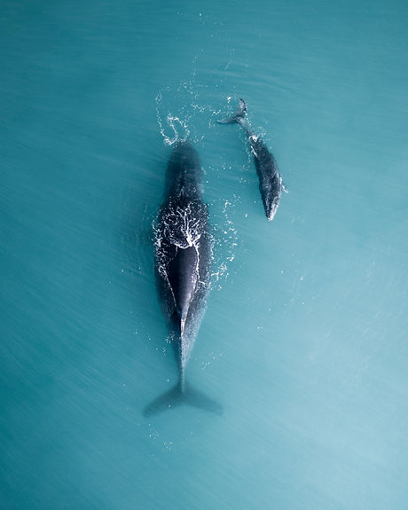 Humpback whale and calf sleeping on the surface.jpg