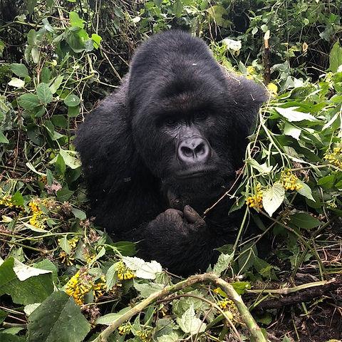Gorilla face.jpg