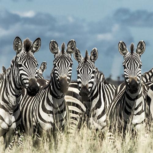 Zebra - shutterstock.jpg