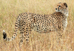 Adult cheetah_edited.jpg
