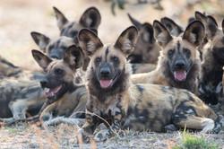 WIld dog - Shutterstock.jpg
