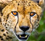 186 - Cheetah copy.jpg