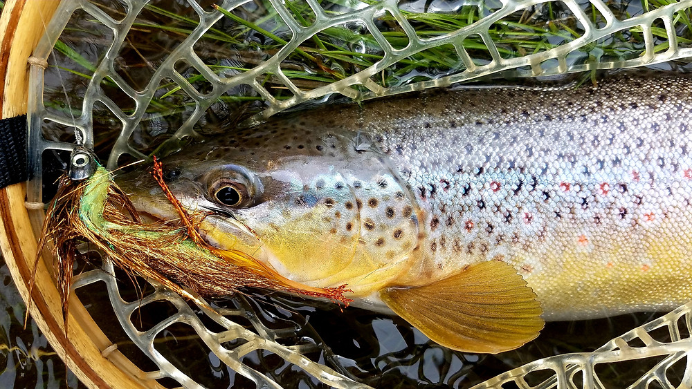 A Paul Weamer, Weamer Fly Fishing LLC, photo of a brown trout caught in Paradise Valley, Montana