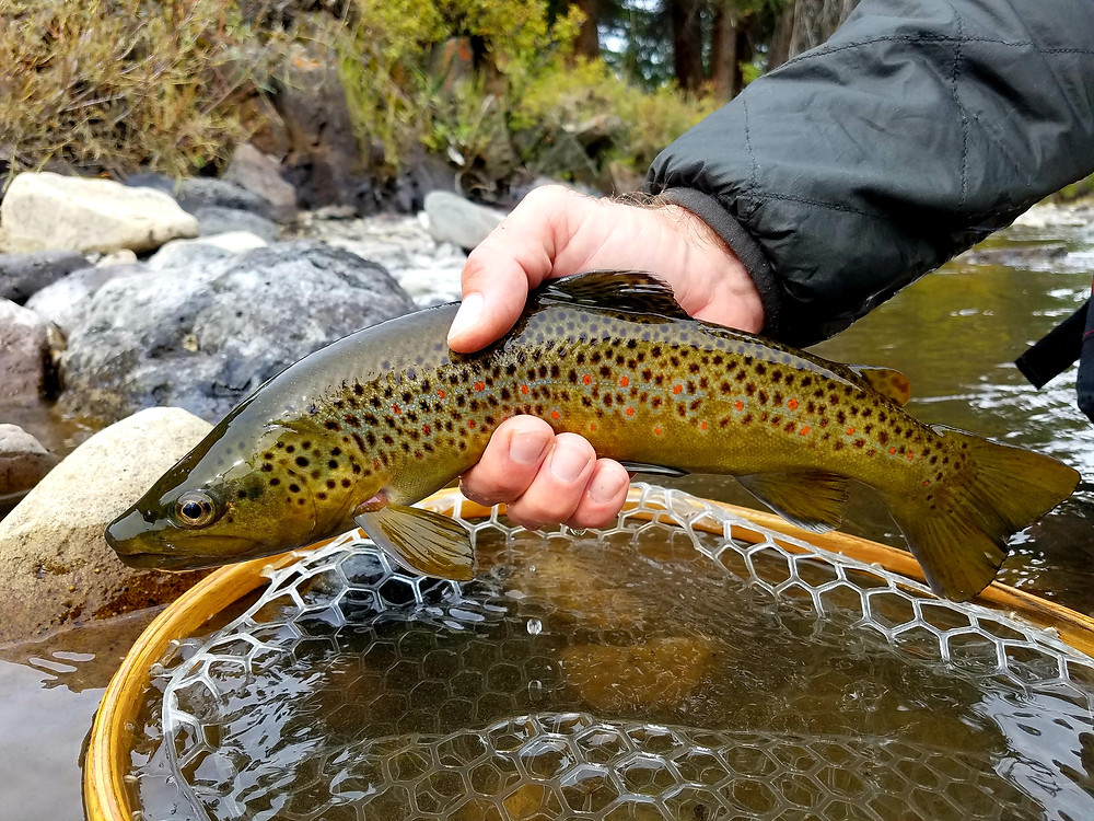 Yellowstone National Park's Gardiner River brown trout