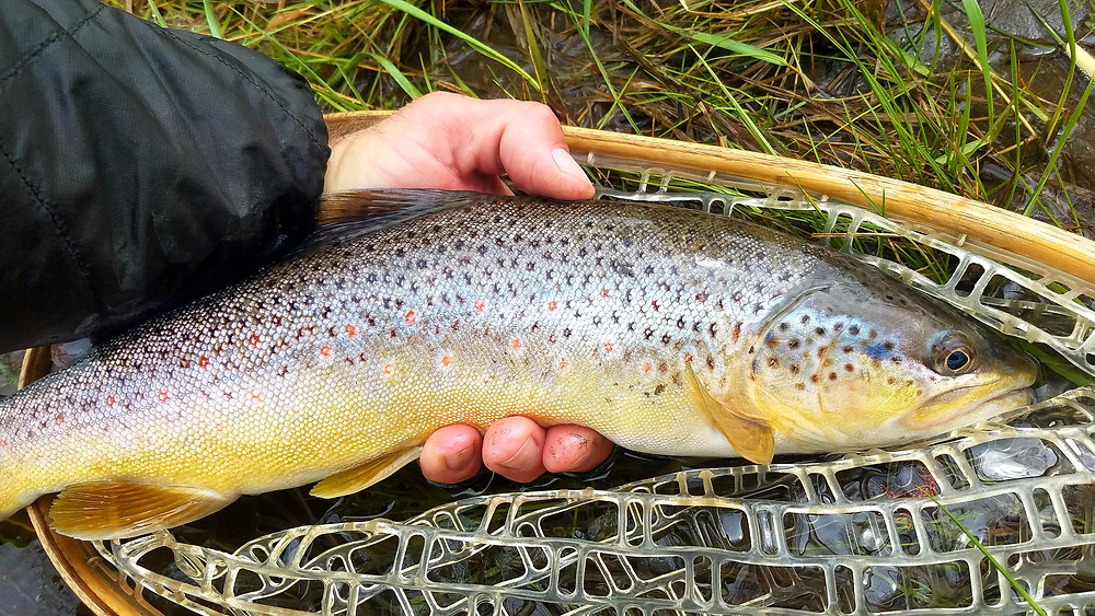 Paul Weamer, Weamer Fly Fishing LLC, photo of a Yellowstone River brown trout caught on a streamer