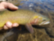 Native cuthroat trout from Soda Butte Creek in Yellowstone National Park