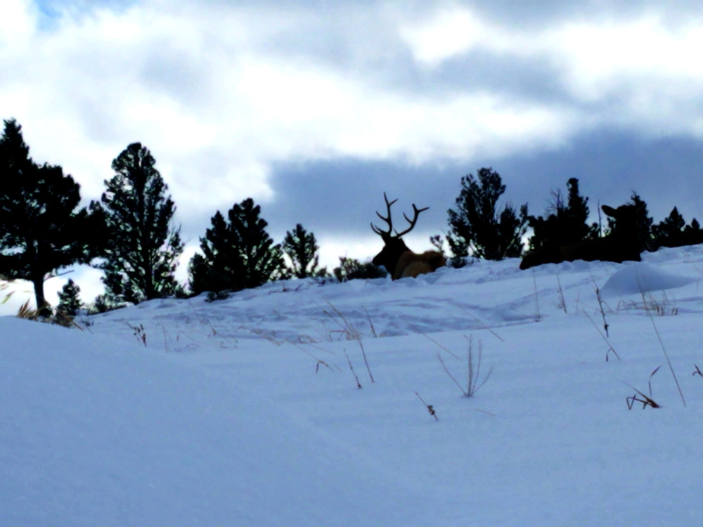 Yellowstone National Park bull elk