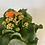 Thumbnail: Orange Kalanchoe Plant