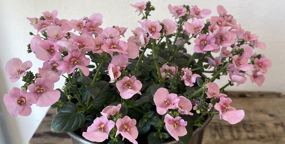 Diascia Plant In Pot