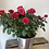 Thumbnail: Red Rose Plant