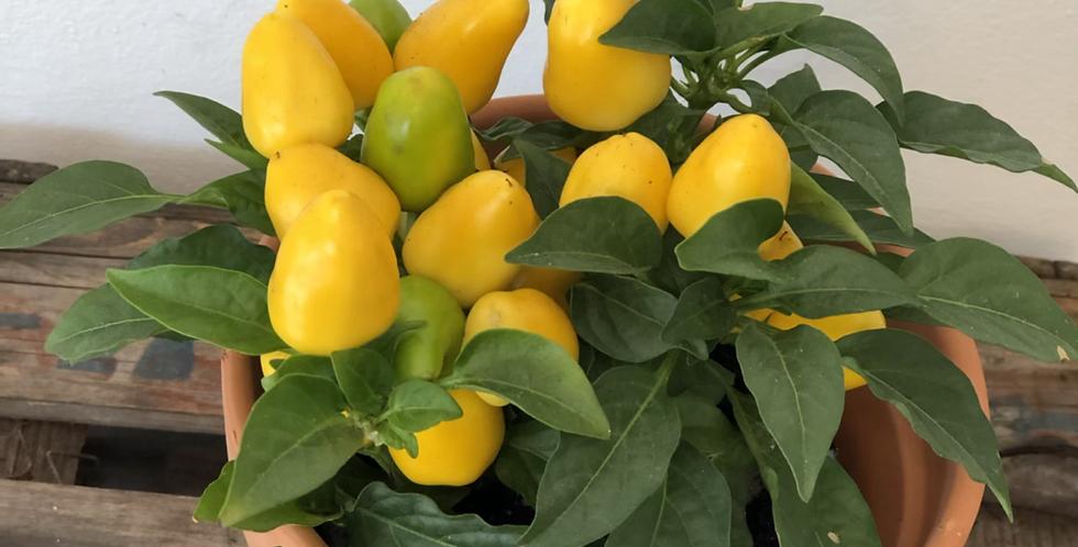 Yellow Ornamental Pepper Plant