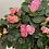 Thumbnail: Medium Size Azalea Plant