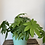 Thumbnail: Monstera Plant