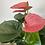 Thumbnail: Pink Anthurium Plant