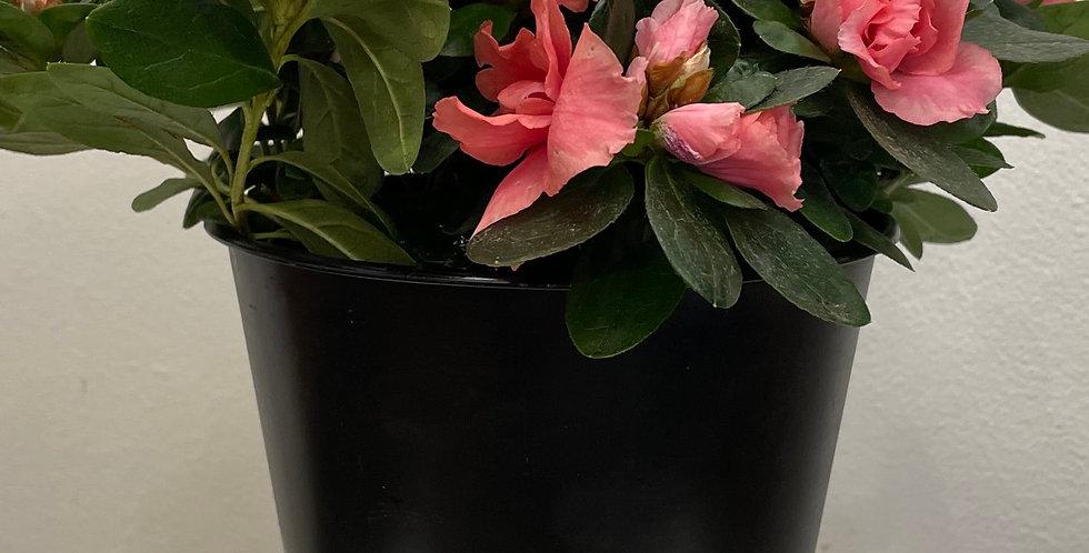Medium Size Azalea Plant