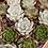 Thumbnail: Small Individual Succulent